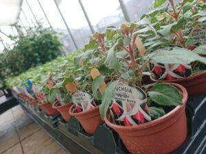 Garden Centre fushcia